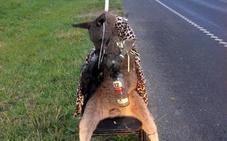 Indignación en Australia tras hallar a un canguro muerto, disfrazado y atado a una silla