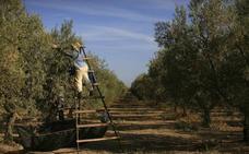 El 'ébola del olivo' llega a España
