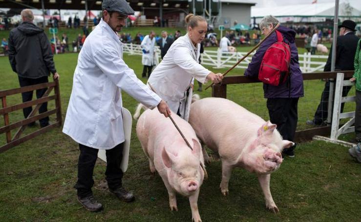 'The Great Yorkshire Show', la fería agrícola de Harrogate en Inglaterra