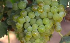 La XIX edición del Día de la Uva Moscatel de Iznate