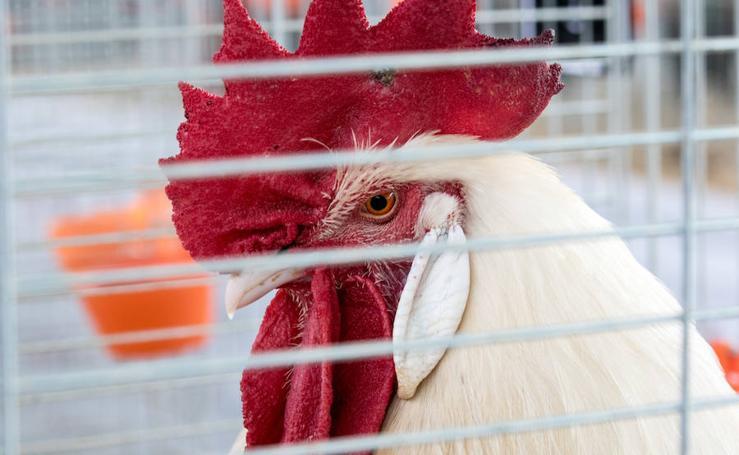 En fotos, la competición nacional de avicultura llena Álora
