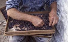 Almáchar celebrará este sábado el reconocimiento de la pasa moscatel como patrimonio mundial agrícola