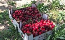 El frío y la lluvia retrasan el comienzo de la recolección de la cereza en Alfarnate