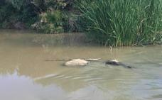 Medio Ambiente descarta vertidos en el río Guadalhorce y atribuye a causas naturales la muerte de peces
