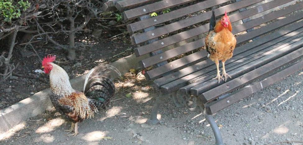 Los efectos de la 'invasión' de gallinas en el Parque de La Paloma de Benalmádena: cruzan la carretera y se cuelan en bloques y negocios