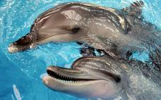 Los delfines macho ponen 'nombres' a amigos y rivales de su entorno