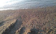 Una plaga de medusas invade el litoral oriental malagueño desde Nerja hasta Málaga capital