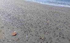 Retiran 8.000 kilos de medusas en la Axarquía tras la plaga de este fin de semana
