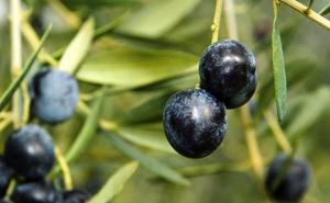 Agricultores piden a la CE que actúe ante los aranceles de EEUU a la aceituna negra