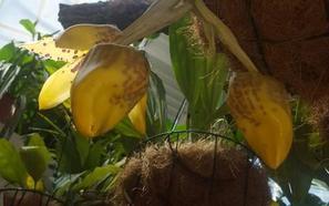La flor que huele a chocolate se abre en Estepona