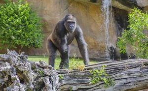 El verano reproductor del gorila Echo
