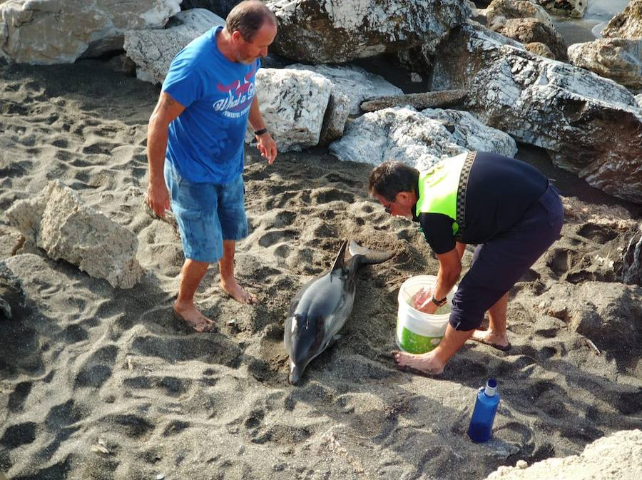 Rescatan un joven delfín varado en la playa veleña de Chilches