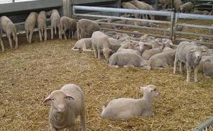 Prisión por estafar en la compra de 1.826 cabezas de ganado en Málaga y Huelva