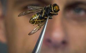 Muere tras la picadura de la avispa asiática «asesina» en Pontevedra