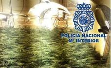 Le ofrecían 2.500 euros por cultivar marihuana en su casa