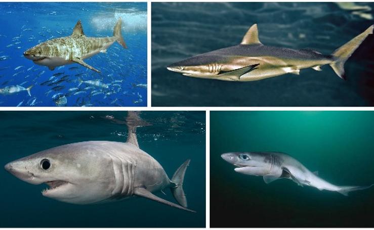 Las 35 especies de tiburones que habitan en el mar de Alborán
