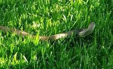 Capturan una culebra de dos metros en el jardín de una vivienda de Benajarafe