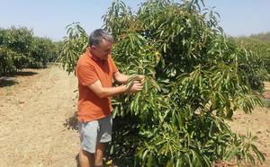 Coín pide a la Junta priorizar el cultivo tradicional frente al subtropical por la falta de agua
