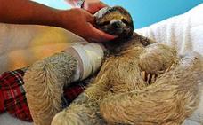 Pancho, el perezoso atropellado en Bolivia que conmueve al mundo