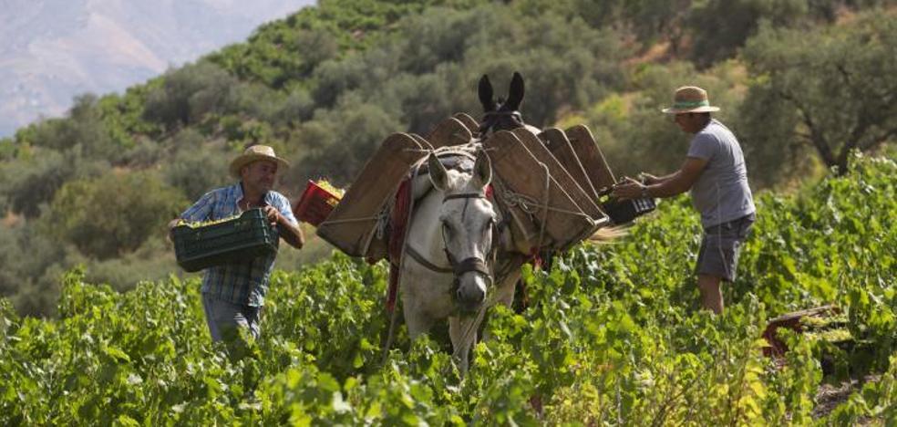 La vendimia arranca en Málaga con buenas perspectivas de producción de uva