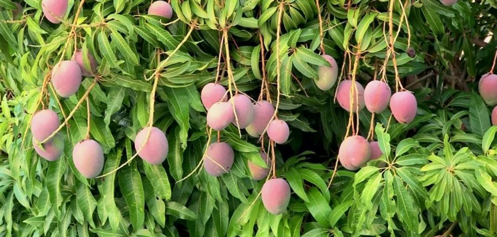 La cosecha de mango de este año batirá récord histórico en Málaga con unas 30.000 toneladas