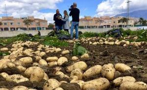 ¿Cómo diferenciar una patata nueva nacional o vieja de importación?