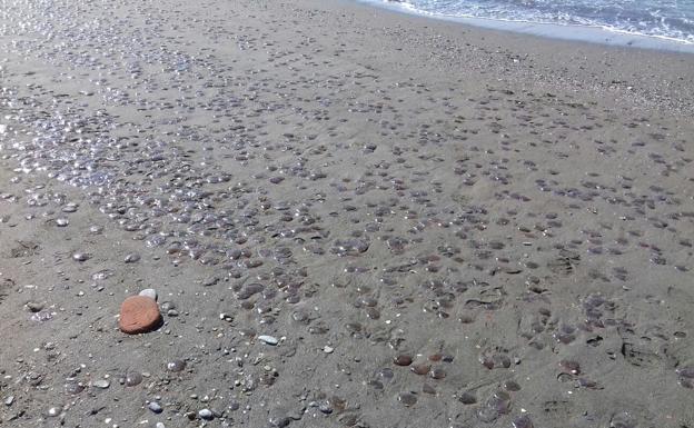 La Mancomunidad promueve un estudio para buscar soluciones y evitar la presencia de medusas en las playas de Málaga