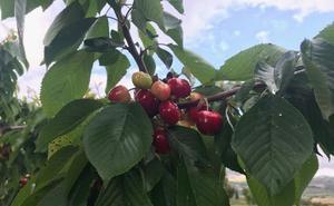La Mayora estudia la adaptación de diferentes frutales al cambio climático