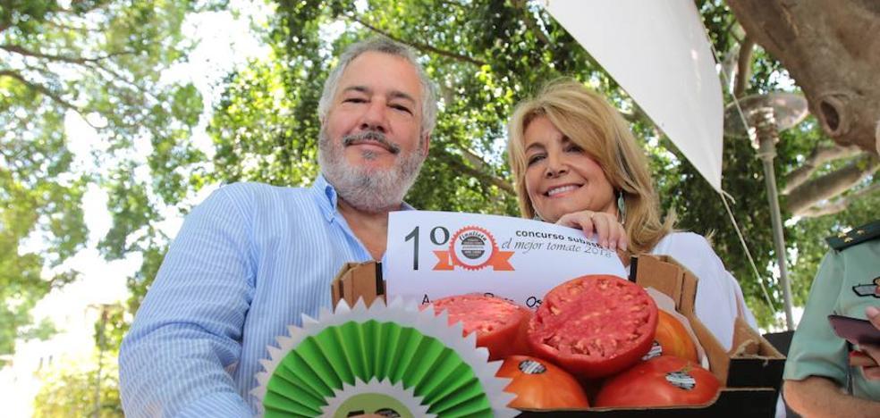 Enamorados del tomate 'huevo de toro': 2.700 euros por el mejor lote