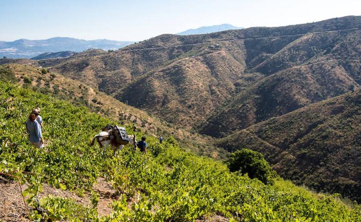 El proyecto de vinos de Ordóñez e Hijos en los Montes de Málaga