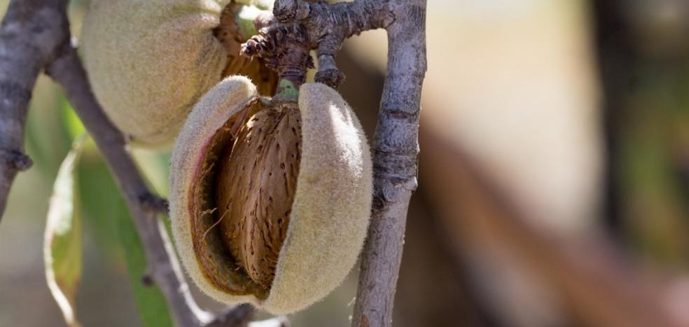 Almendrera del Sur cierra la campaña con una producción de 10 millones de kilos