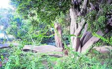 Preocupación por la rotura de una rama del ficus centenario y protegido del paseo de Sancha