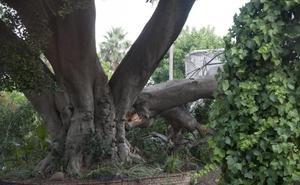 Los vecinos se movilizan para proteger el ficus centenario del paseo de Sancha