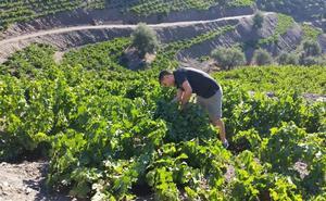 La vendimia en Málaga alcanza ya el 60% de la superficie de viñedo