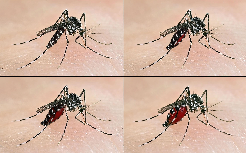 tiempo de vida del mosquito tigre