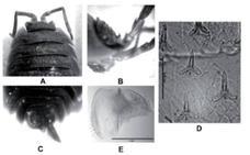 El porcellio narixae, el nuevo insecto descubierto en la Cueva de Nerja