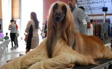 La XXXII Exposición Internacional Canina reunirá en Málaga más de 4.000 ejemplares de Europa, EE UU y Japón