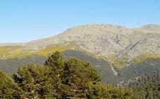 Un gusano de dos milímetros amenaza los bosques de coníferas en España