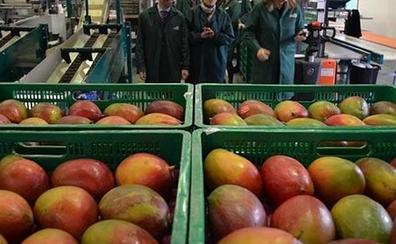 La provincia de Málaga, epicentro mundial del mango en 2020