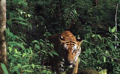 Auténtico olor a tigre: cómo cazar este animal con un perfume de Calvin Klein