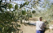 La producción de aceite de oliva de Malaga en esta campaña superará las 80.700 toneladas