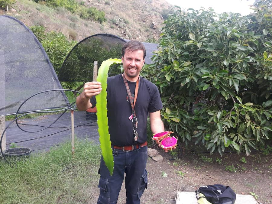 La pitaya echa raíces en Málaga con múltiples usos en la cocina