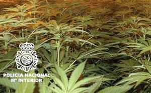Dos detenidos y cuatro laboratorios de marihuana desmantelados en Vélez-Málaga