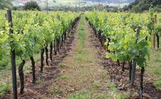 La vendimia deja en la Serranía un 30% más de uva