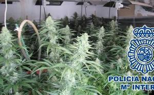 Desmantelan en Marbella dos cultivos de marihuana y detienen a 14 personas, dos de ellas menores