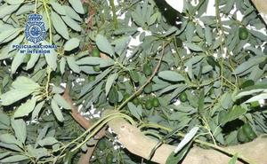 Detenido por robar más de nueve toneladas de fruta en 13 fincas agrícolas de Almayate