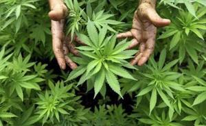 Europa concluye que el uso medicinal del cannabis no tiene efectos secundarios graves