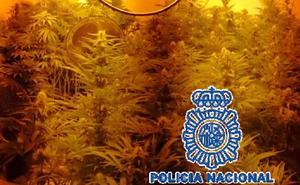 Desmantelan una plantación con 237 plantas de marihuana en Los Asperones