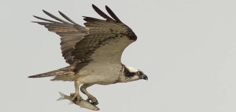 El águila pescadora que vuelve a Málaga por Navidad