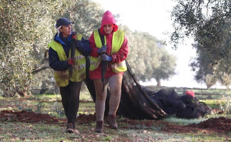 La recogida de la aceituna en la provincia de Málaga se enfrenta a la escasez de mano de obra